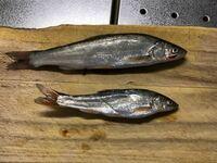 魚釣りに行って、魚を釣ったのですがこの魚の名前は何ですか?釣った場所は鳥取県の日本海で、堤防で釣りました。ちょうど川と海の境目くらいです。