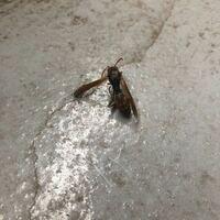 このアシナガバチの種類を教えてください。