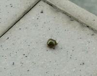 教えてください。  突然、自宅の駐車場に大量の小さな虫が 大量発生しました。ゆっくりと飛び回って 隣の家の壁やカーポートの柱に たくさん止まっています。  こんな事、はじめてです。 最近、隣の家が庭を維持ったようで 砂利を詰めた袋をずっと放置してますが そのことと何か関係があるのかな。。  何という虫か分かります??  虫に詳しい方、宜しくお願い致します。