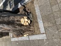 街路樹の南側に生えてたキノコです。 大きさは10センチ以上です。 キノコに詳しい方キノコの名前を教えて下さい。 撮影時期は七月中旬で街路樹は枯れてません