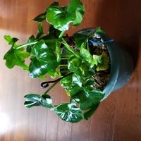 友人から頂いた観葉植物。 友人が管理していなかったのでなんという植物なのかわかりません。 一年前はもっと元気だったのに…。 少しずつ景気が悪くなってきています。 名前が判れば栽培法 がわかるかもしれ...
