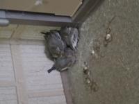 【野鳥についてです!】 昨日の未明ほどから野鳥が4羽、玄関先にうずくまっています。周りには木の枝のような巣の残骸かと思われるものが少し散らばっていますが、定かではありません。巣がある可能性があるとこ...