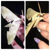 蛾の種類  写真の蛾について 種類が分かる方、ご教示ください。  本日福岡県で撮影したものです。 クチバスズメに似ていると思うのですが、いかがでしょうか。