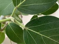 フィカスのベンガレンシスを育てているのですが、葉の根本や茎に小さな白い粒々と黒い3-5㎜くらいの半月状のものが貼り付いています。病気か害虫だと思うのですが、なんだか、分かりません。分 かる方いらっしゃ...