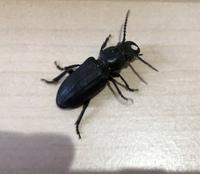 昆虫採取してきたのですが何の虫か分かりますでしょうか? クワガタにも似ているような気がします