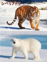 シベリアトラとシロクマ、戦ったらどちらに軍配上がりますか? シベリアトラは現在において、最大の体長を持つ陸上肉食動物であるそうです。 https://natgeo.nikkeibp.co.jp/nng/article/20141218/428839/  それに対して シロクマ(ホッキョクグマ)は現在において、最大の重量を持つ肉食動物であるそうです。 https://natgeo.n...