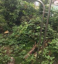 庭の木を伐採して、切った木をそのまま何ヶ月も放置していたら、その上を蜂が寄ってくると言われているヤブカラシが張ってしましました。最近蜂がよく出てきて困っています。このジャングルをなんとかしようにも...