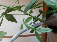 パキラの太い幹から、若い青い枝が伸びて来ました!この若い枝を、切り取り?別の鉢で育てたいのですが、どのような方法が一番良いでしょうか?
