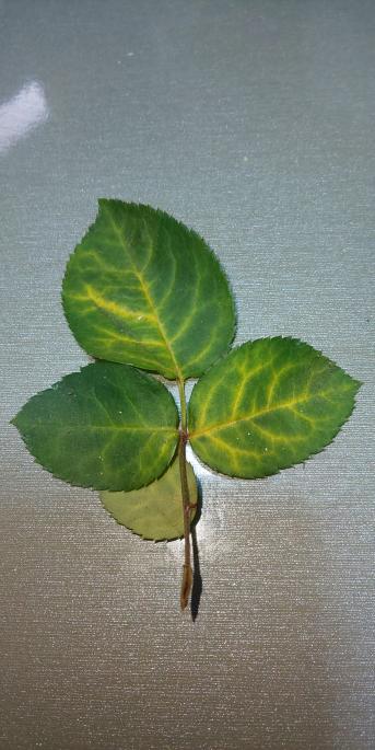 鉢植えのミニバラがこの梅雨時期枯れてきたのですが、写真のような葉は 水やり不足でしょうか?それとも水のやりすぎでしょうか? 葉が落ちてしまいます。