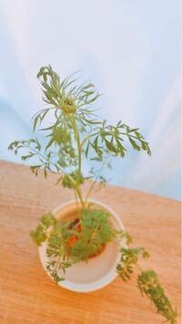 人参のヘタを水耕栽培しています。 これはお花が咲くサインですか? 水耕栽培より。土に植え替えた方が良いですか?