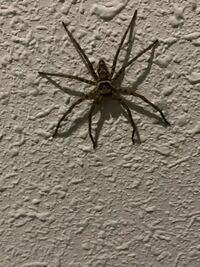 このクモはアシダカグモであってますか? 大型のクモがマンションの廊下にいて驚きました。Googleレンズを使ったところ、アシダカグモということでした。