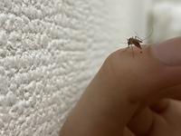 蚊に血を吸われているところを観察していました。 すると、お尻から血が出てきました笑笑 これは、血を吸いすぎた為,量の調節しているのでしょうか? 蚊に詳しい方,ご返答願います