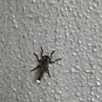 ちょっとボケてますが、、これなんていう虫ですか? ブーンって飛んでました、、 いまさっき家の中掃除してたらこの虫が窓の外にいて虫嫌いな私から見て気持ち悪かったです、