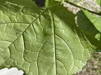 ハモグリバエのタマゴについて。  初めてヘチマを育てています。  葉っぱに白い線が沢山できていたのを放ったらかしにしていたのですが、数が増えてきたので調べてみたらハモグリバエでした 。  白い線が出...