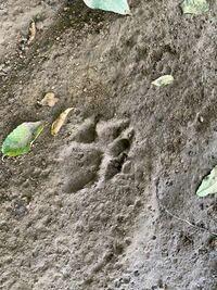 動物、動物の足跡に詳しい方お願いします。この足跡は野良犬ですか?場所は山道です、近くに人の足跡はなかったので飼犬ではないと思います