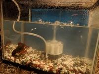 ザリガニを飼い始めました。水深やレイアウトはこんな感じで特に大丈夫でしょうか?隠れるところは用意しようと考えています。