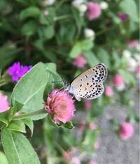 蝶の種類  写真のシジミチョウについて 種類が分かる方、ご教示ください。  昨年8月に福岡県で撮影したものです。 ヤマトシジミでしょうか。