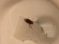 ゴキブリについて。多分ワモンゴキブリと思いますが、これはワモンでしょうか?