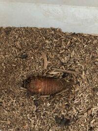 動か ない 幼虫 カブトムシ 初めてのカブトムシの飼育でよくあるトラブルQ&A