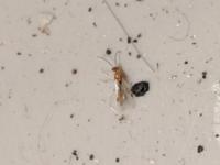 最近、夜になると家の玄関付近にこんな虫が6匹〜7匹いるのを見かけました。羽根アリだと思うんですけどこれはシロアリなんでしょうか? 素人では判別できないので、よければ教えて下さい。
