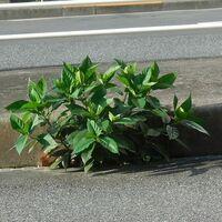 アスファルトとコンクリートのわずかな隙間から自生をしている植物なのですが、名称は何なのでしょうか。 ・ かなり強い生命力、繁殖力だとみました。