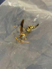 この蜂の種類を教えてください。 洗濯物に紛れ込んでいた、このハチに先ほど刺されました。詳しい方がいらっしゃいましたら、このハチの種類を教えてください。また、アナフィラキシーの症状は出ていませんが病院で診てもらった方がいいのでしょうか。  何卒ご回答のほど、よろしくお願いします。