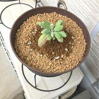 この現象のしくみを教えて下さいませんでしょうか。 怖がっています。  園芸初心者です。  ホワイトセージに小バエが発生したので、処置として元の上層土を取り除いた後に、新しく上層4〜5センチを赤玉土とバーミ...