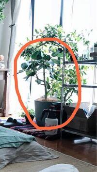 観葉植物の種類について。 添付写真の観葉植物の品種を教えてください! よろしくお願いします。