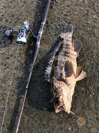 コレはなんという魚ですか? 先ほど高知の河口で釣りました。 50cm弱くらいです。 よろしくお願いします。