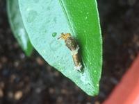 アゲハ蝶の種類の幼虫でしょうか。こどもが植えたみかんの種から生えた葉に生まれたようです。名前がわかれば教えてください。今は1センチほどです、が、これから大きくなると、我が家の芽生え た葉っぱでは、足りなくなるかと。何を食べるかも知りたいです、よろしくお願いします。