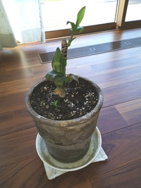 この観葉植物は何という品種か分かりますでしょうか?一度枯れてしまい、上の方を切ったら、下から新しい芽が出てきています。 育て方などアドバイス頂ければ幸いです。 宜しくお願い致します 。