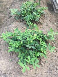 コガネムシ被害を今から予防できる農薬はありますか? 落花生を栽培しています。 はじめての家庭菜園でミニトマトの他に落花生を植えました。順調に育っています。  収穫時期のことを調べていたらコガネムシの幼虫の被害の記事を見つけました。 サヤを食べられていることもあると聞き心配になっています。  田舎に住んでおり、隣は農家さんの畑なので虫も多くコガネムシの成虫も近所で先日見たばかりです。  未熟な...