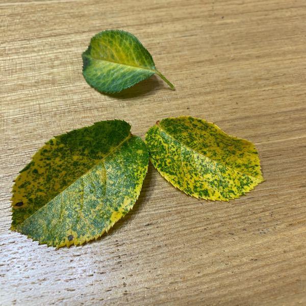 バラの葉が黄色くまだらになっています。 明らかな水切れは無かったと思うのですが… 黒星病を疑いましたが、点々が無いので違うのかな?と思っている初心者です。 何かの病気なのでしょうか?