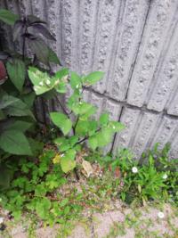 この植物は雑草ですか? 白い花が咲いています。