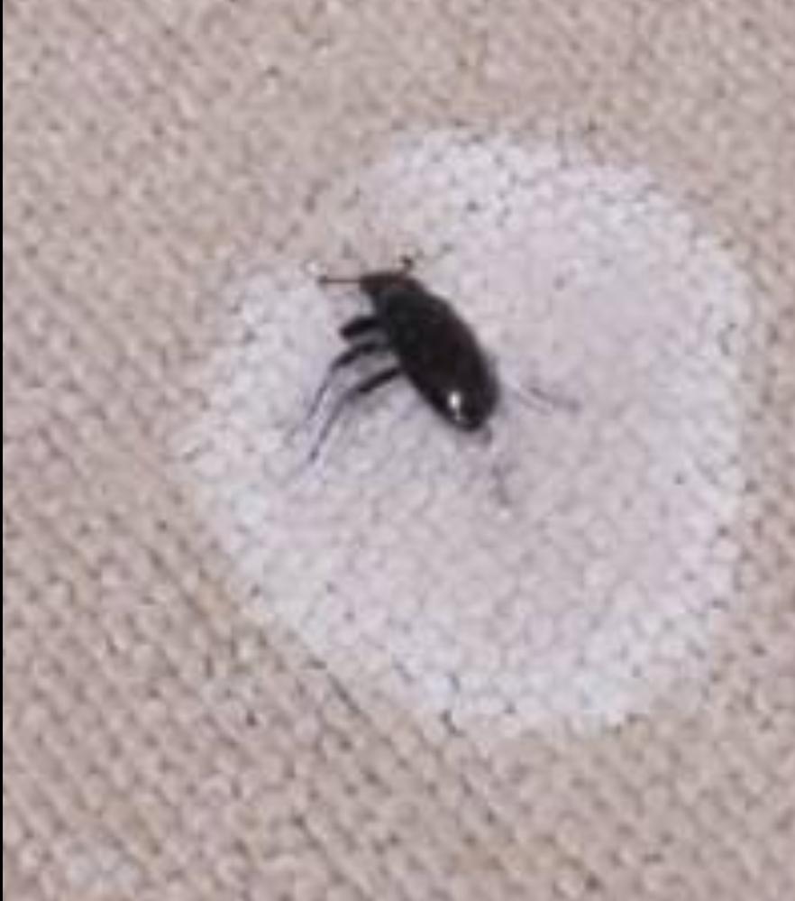 さっき、ゴキブリと間違えて冷却スプレーしてしまったのですが、これはなんの虫ですか? わかる方回答お願いします。