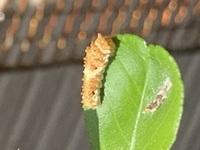 アゲハチョウの幼虫について  アゲハチョウの幼虫を自家栽培の柑橘類で 育てているのですが、観察していたら 鳥のフンの模様の幼虫が数匹居たのですが 2匹程、色が明らかに明るい個体が居 ました。 生まれたてだけかと様子を見ていたのですが 先程確認したらやはり、2匹だけが 明るく黄色い色でした。 何かの病気でしょうか? この個体は長くは望めないのでしょうか?