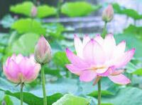 仏教を語るとき蓮の花がよく出てきますが、その理由を御存知ですか。  ・。・?