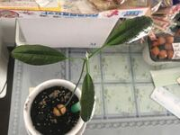 アボカドの葉っぱがおかしいです ようやって治せますか?