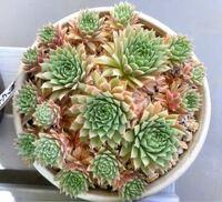 多肉植物センペルビウムの下葉が枯れている状態です。 これは水不足でしょうか? 葉の裏を触ると少しベタベタしています。