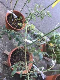 2週間前からミニトマト(アイコ)の様子がおかしくなりました。 茎の中央が茶色くなり徐々に茶色部分が上下に広がり葉も枯れてしまいました。現在先っぽはまだ緑色で花も咲いて成長しており、枯れた葉は取り除きま...