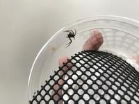 アシダカグモの幼体を飼育している者です。 まだ体長も小さく恐らく幼体であるうちのアシダカグモなんですが、飼育ケース内で産卵しました。ハシリグモと間違えたのかと思いましたが立派に壁に 張り付いていてア...