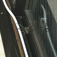 部屋に蜘蛛がいたんですけど これって、危険じゃない蜘蛛ですか?  怖くて近づけなくてボヤボヤしてるんですが… わかる方いたら教えて欲しいです。