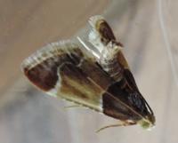 この昆虫(蛾)の名前を教えて下さい。頭からお尻まで10~15mm位の大きさです。宜しくお願いします。
