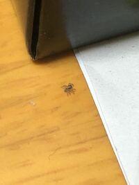 最近家の中にこういう小さい蜘蛛が歩いているんですがなんという蜘蛛か分かりますか? 体長は脚含めて3ミリくらいです