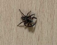 【閲覧注意】この蜘蛛は何という種類の蜘蛛ですか? 家の中で歩いていた蜘蛛です。イエグモの一種ですかね?アダンソンハエトリと違い、模様は茶色のようです。 カテゴリとして「害虫、ねずみ」を設定してはいま...