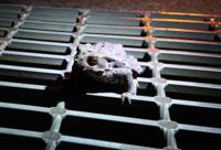 この蛙の種類を教えて下さい。 10cm以上ありました