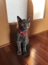 譲って頂いた猫です。 前の飼い主も種類がわからないそうです。 色はグレーです。 しっぽは縞模様です。 目は黄色かオレンジと黒目です。 わかる方種類を教えてください。