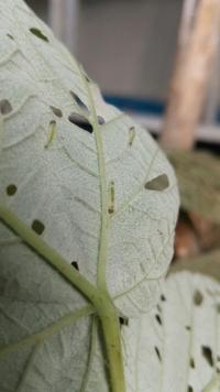 自宅の庭のキイチゴに大量に付いていた青虫です。葉っぱが食害されて穴だらけにされました。恐らく、蛾か蝶などの幼虫かとは思うのですが、何という名前か教えて頂きたいです。 よろしくお願いします。