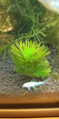 アナカリス等の水草について質問なんですが、青々としてほしいのにこんな感じ(画像)で葉っぱが薄い?黄色っぽい?感じになる原因ってなんでしょうか?  あと対策、解決方法などありましたら教 えてください