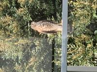 野鳥にお詳しい方お願い致します。 この鳥は何でしょうか。 東京都世田谷区の駒沢公園に近い自宅ですが、ベランダに今日ひょっこり来ました。ノスリかツミと思っておりますが、ぜひ教えてくだ さい。よろしくお...